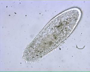 live-paramecium-2